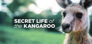 Secret-life-of-the-kangaroo--...-Focus