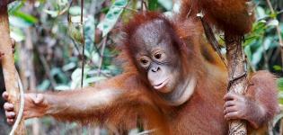 Orangutan-Jungle-School-Prima...-Focus